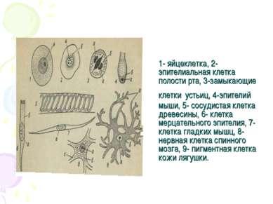 1- яйцеклетка, 2- эпителиальная клетка полости рта, 3-замыкающие клетки устьи...