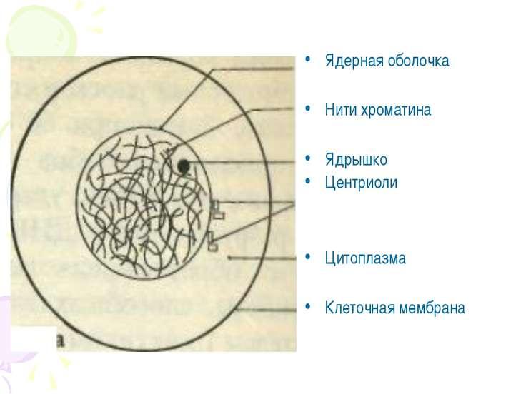 Ядерная оболочка Нити хроматина Ядрышко Центриоли Цитоплазма Клеточная мембрана