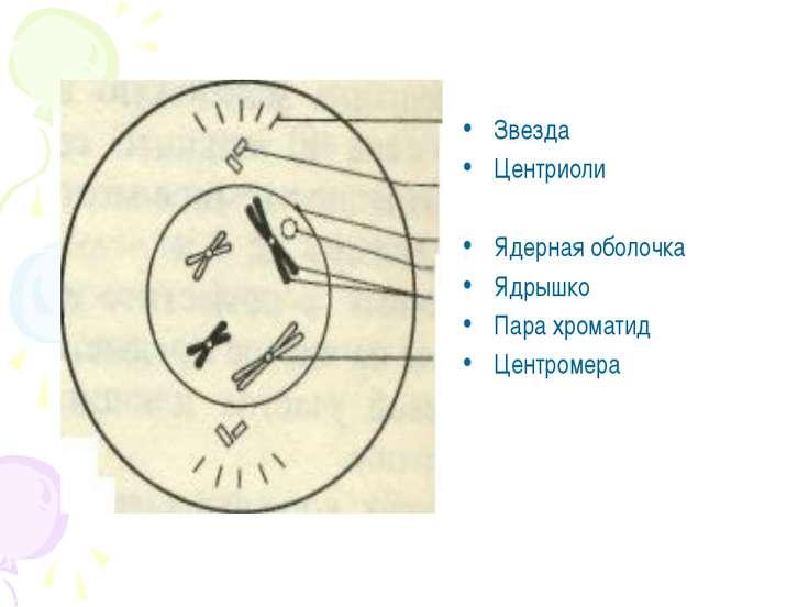 Звезда Центриоли Ядерная оболочка Ядрышко Пара хроматид Центромера