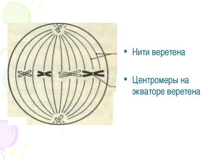 Нити веретена Центромеры на экваторе веретена