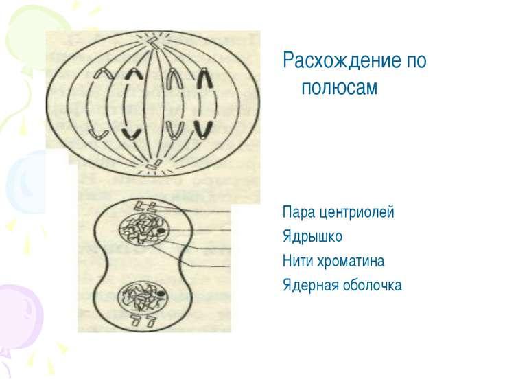Расхождение по полюсам Пара центриолей Ядрышко Нити хроматина Ядерная оболочка