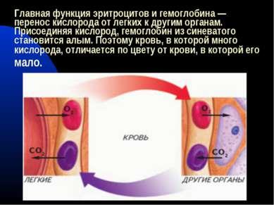 Главная функция эритроцитов и гемоглобина — перенос кислорода от легких к дру...