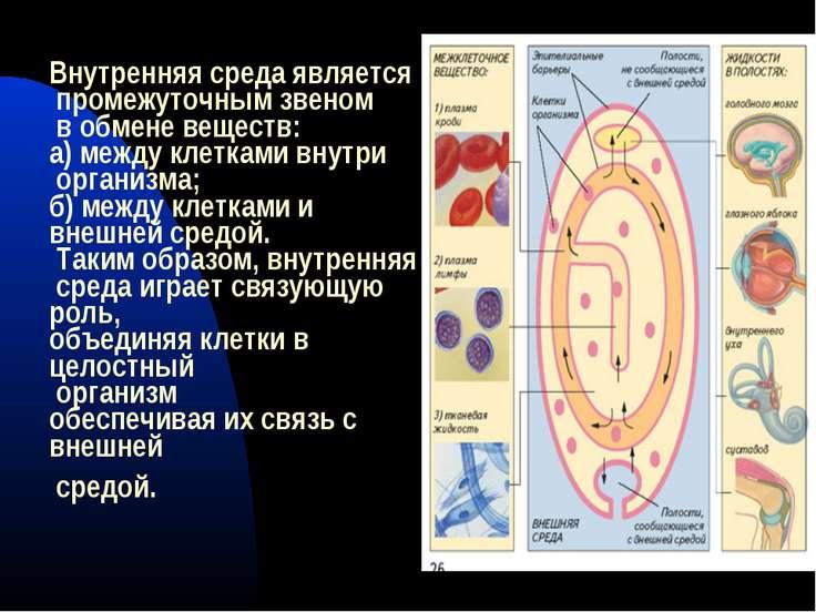 Внутренняя среда является промежуточным звеном в обмене веществ: а) между кле...