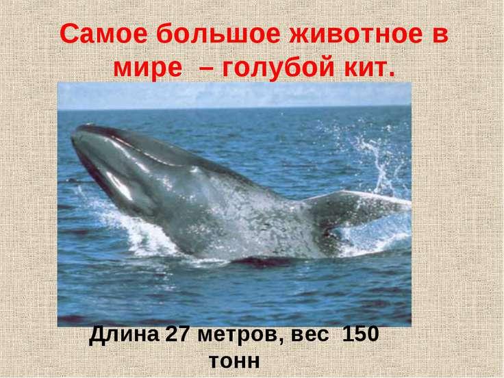 Самое большое животное в мире – голубой кит. Длина 27 метров, вес 150 тонн