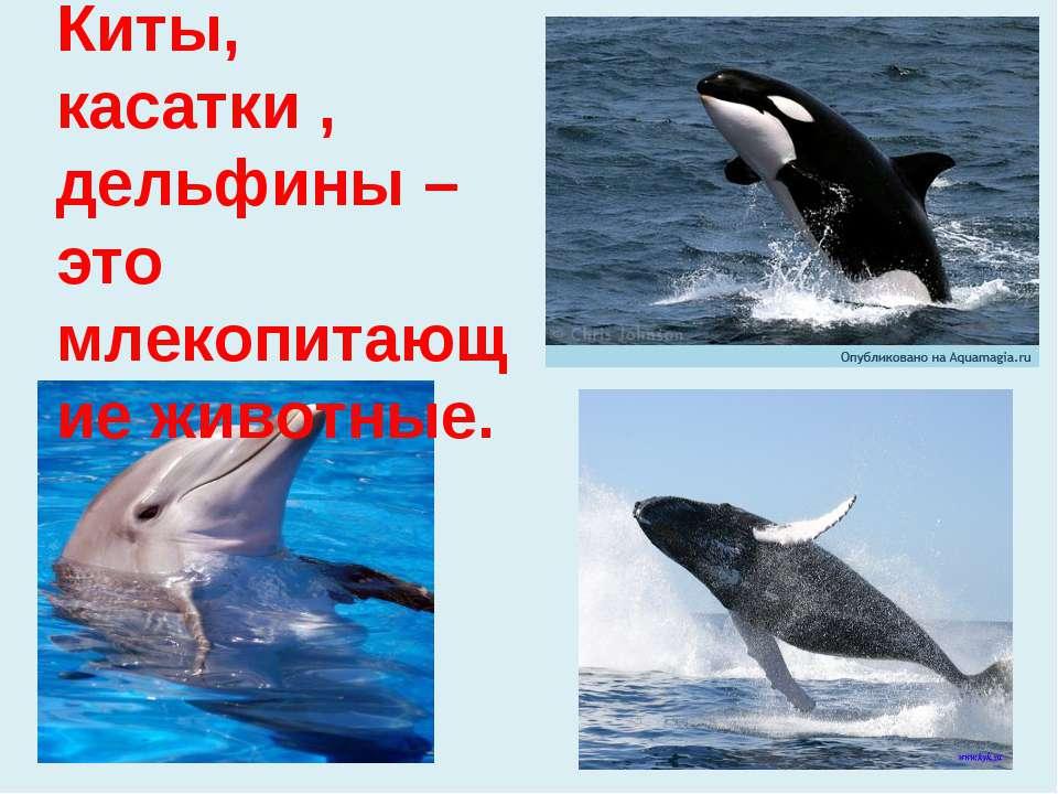 Киты, касатки , дельфины – это млекопитающие животные.