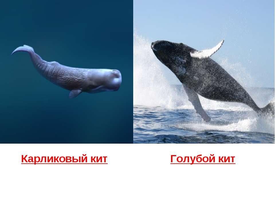 Карликовый кит Голубой кит