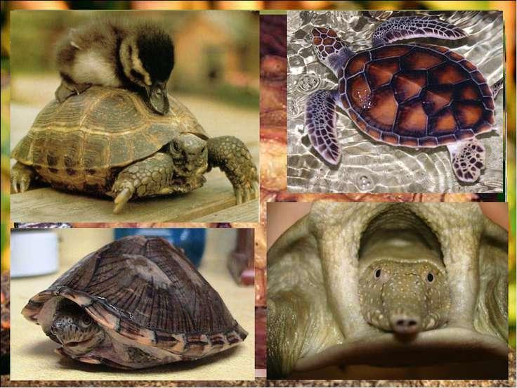 Распространение черепах в мире Х Х Х Х Х Х