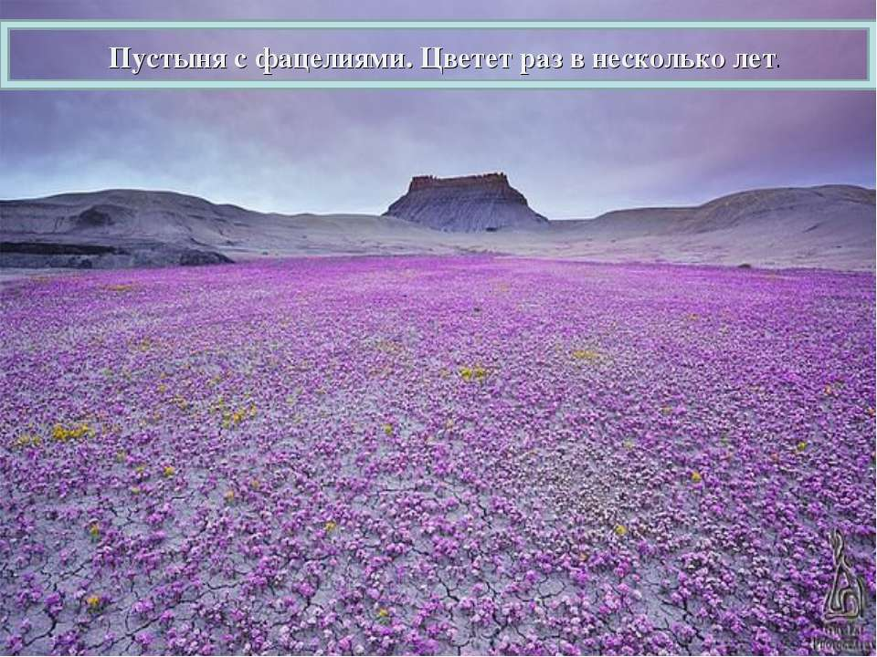 Пустыня с фацелиями. Цветет раз в несколько лет.