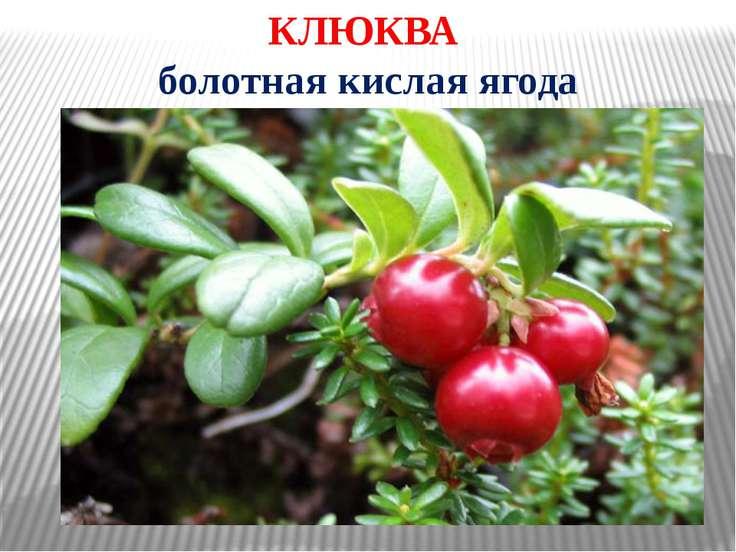 КЛЮКВА болотная кислая ягода