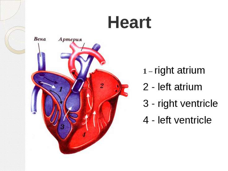 Heart 1 – right atrium 2 - left atrium 3 - right ventricle 4 - left ventricle