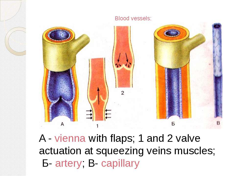 Blood vessels: A - vienna with flaps; 1 and 2 valve actuation at squeezing ve...
