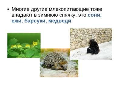 Многие другие млекопитающие тоже впадают в зимнюю спячку: это сони, ежи, барс...