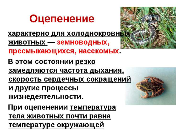 Оцепенение характерно для холоднокровных животных — земноводных, пресмыкающих...