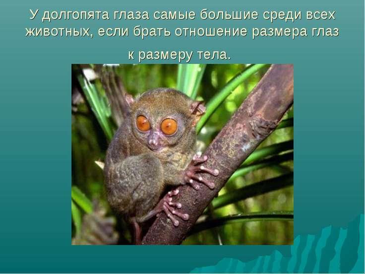 У долгопята глаза самые большие среди всех животных, если брать отношение раз...