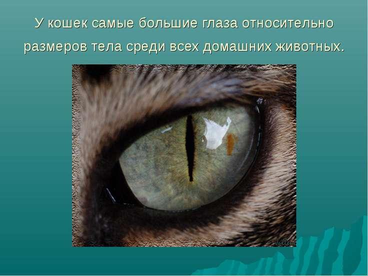 У кошек самые большие глаза относительно размеров тела среди всех домашних жи...