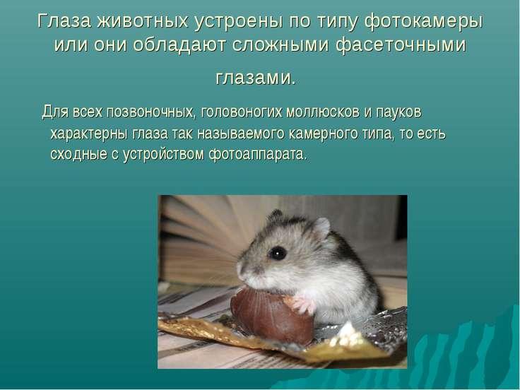 Глаза животных устроены по типу фотокамеры или они обладают сложными фасеточн...