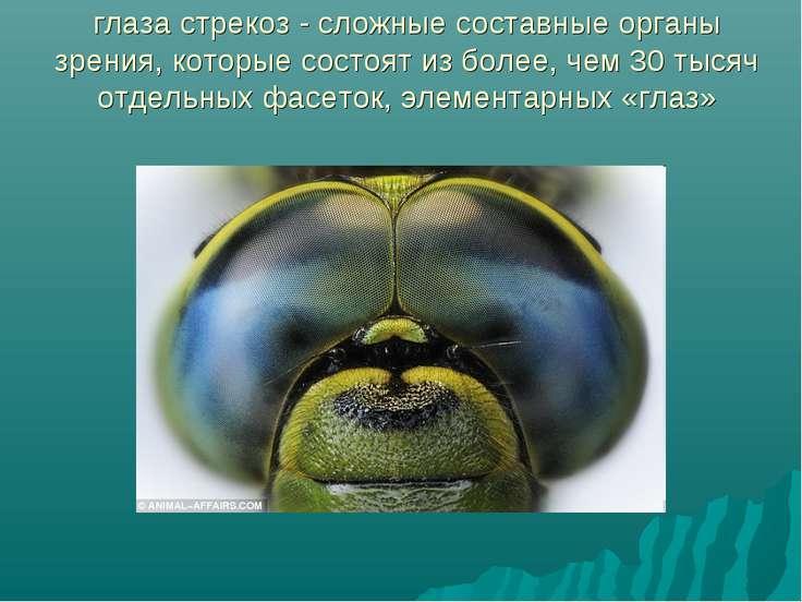 глаза стрекоз - сложные составные органы зрения, которые состоят из более, че...