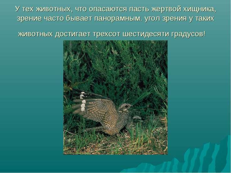 У тех животных, что опасаются пасть жертвой хищника, зрение часто бывает пано...