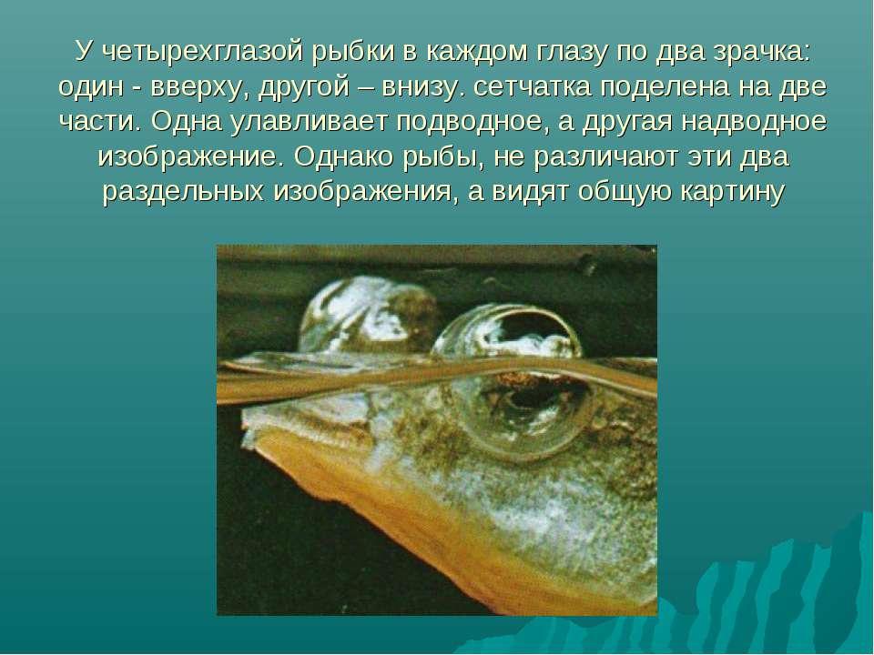 У четырехглазой рыбки в каждом глазу по два зрачка: один - вверху, другой – в...