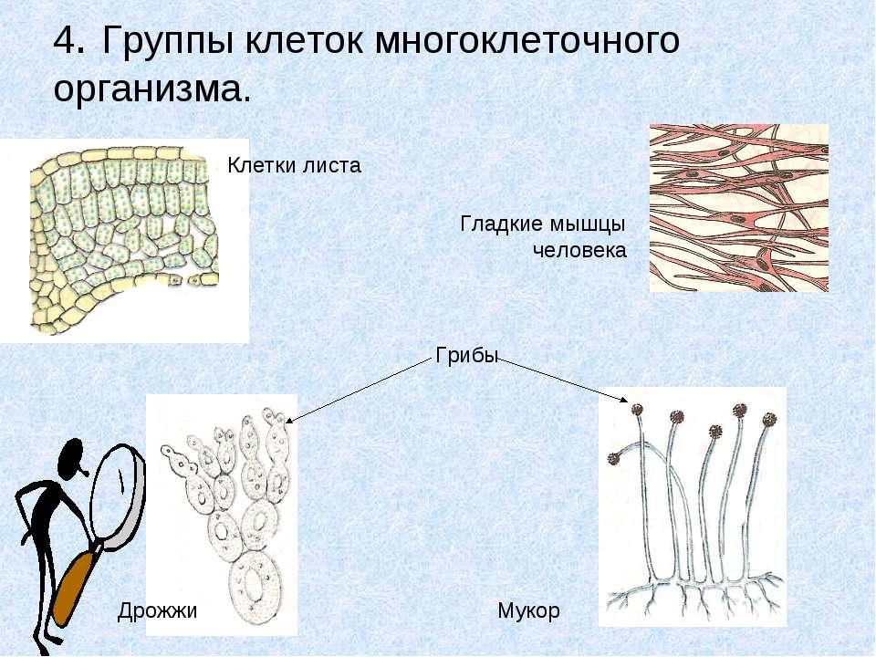 4. Группы клеток многоклеточного организма. Клетки листа Грибы Дрожжи Мукор Г...