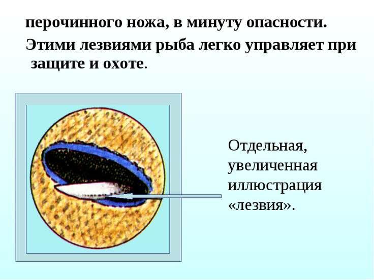 перочинного ножа, в минуту опасности. Этими лезвиями рыба легко управляет при...