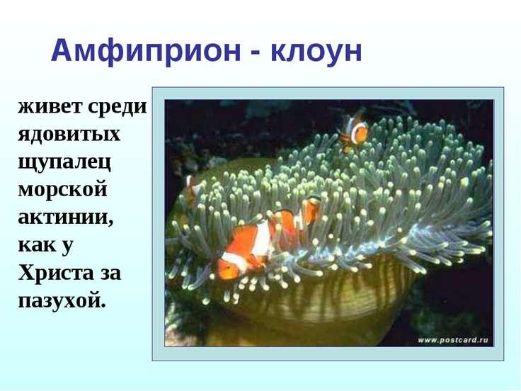 Амфиприон - клоун живет среди ядовитых щупалец морской актинии, как у Христа ...