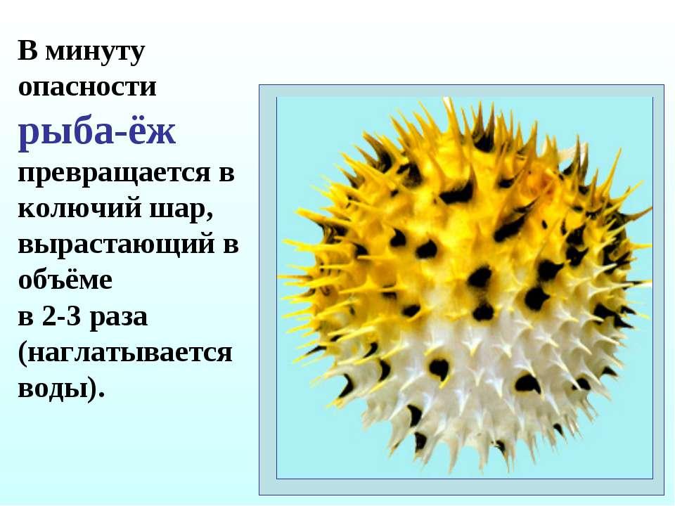 В минуту опасности рыба-ёж превращается в колючий шар, вырастающий в объёме в...
