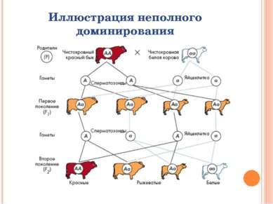 Иллюстрация неполного доминирования