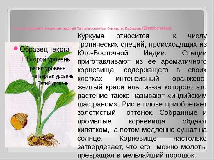 Куркума домашняя (индийский шафран) Curcuma domestica. Сем.ейство Имбирные (Z...