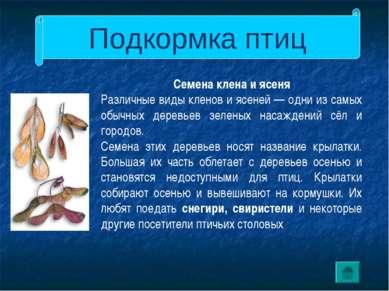 Подкормка птиц Семена клена и ясеня Различные виды кленов и ясеней — одни из ...