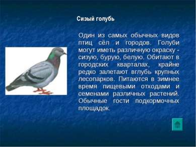 Сизый голубь Один из самых обычных видов птиц сёл и городов. Голуби могут и...