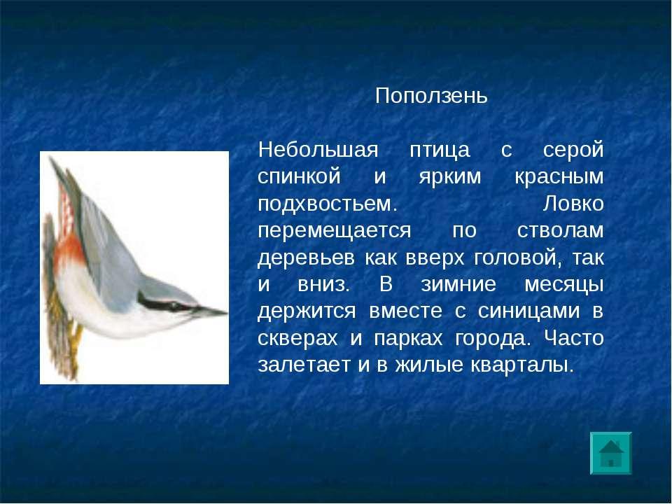 Поползень Небольшая птица с серой спинкой и ярким красным подхвостьем. Ловко ...