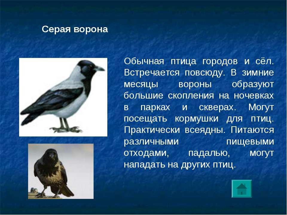 Обычная птица городов и сёл. Встречается повсюду. В зимние месяцы вороны обра...