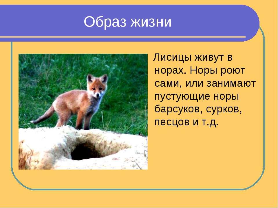 Образ жизни Лисицы живут в норах. Норы роют сами, или занимают пустующие норы...