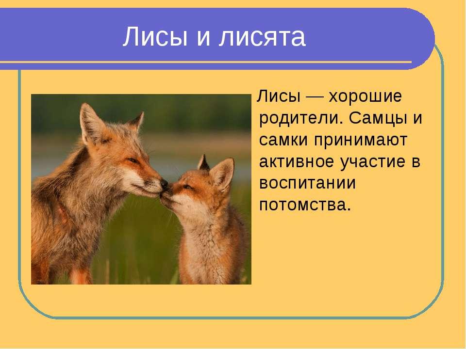 Лисы и лисята Лисы — хорошие родители. Самцы и самки принимают активное участ...