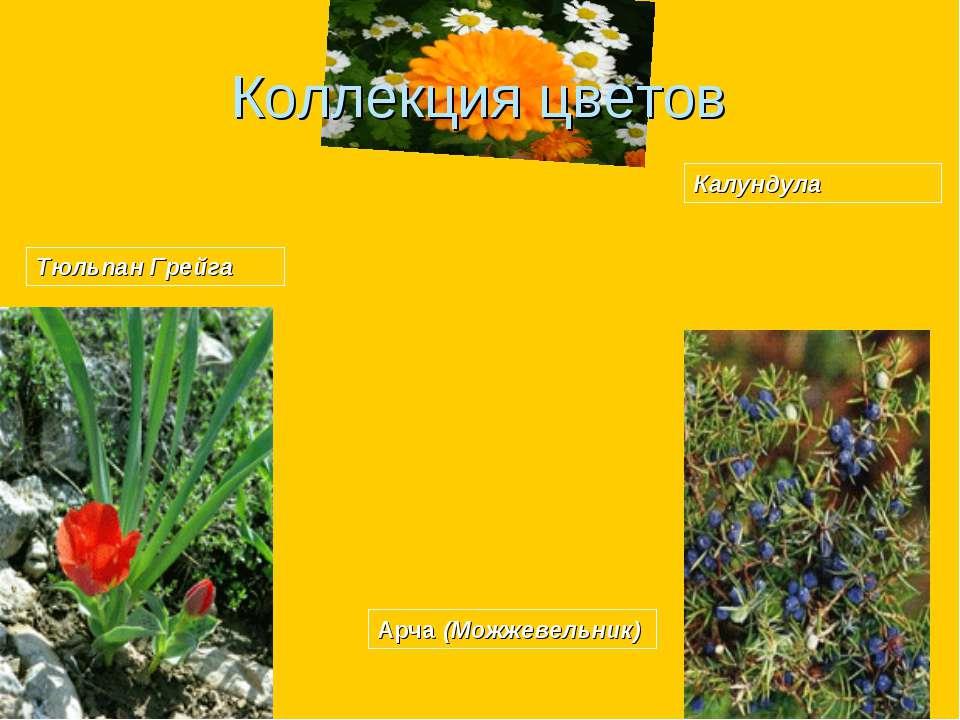 Тюльпан Грейга Арча (Можжевельник) Коллекция цветов Калундула