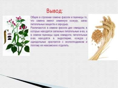 Общее в строении семени фасоли и пшеницы то, что семена имеют семенную кожуру...