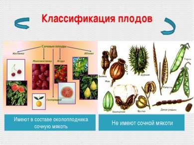 Классификация плодов Имеют в составе околоплодника сочную мякоть Не имеют соч...