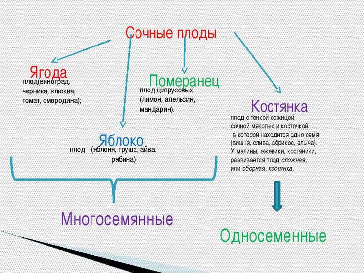 Сочные плоды Ягода Яблоко Померанец Костянка плод  (яблоня, груша, айва, ряб...