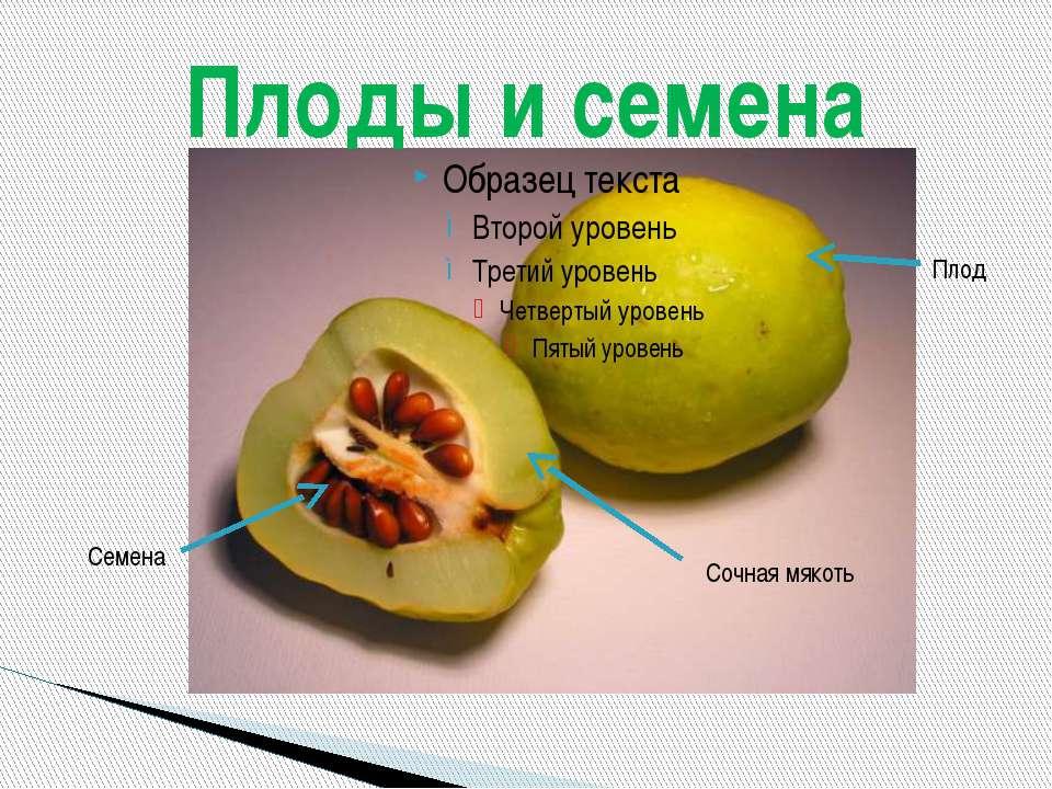 Плоды и семена Плод Семена Сочная мякоть