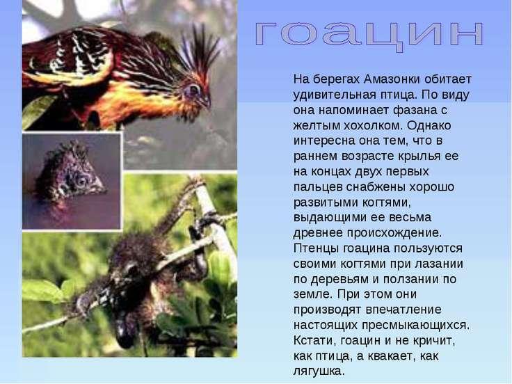 На берегах Амазонки обитает удивительная птица. По виду она напоминает фазана...