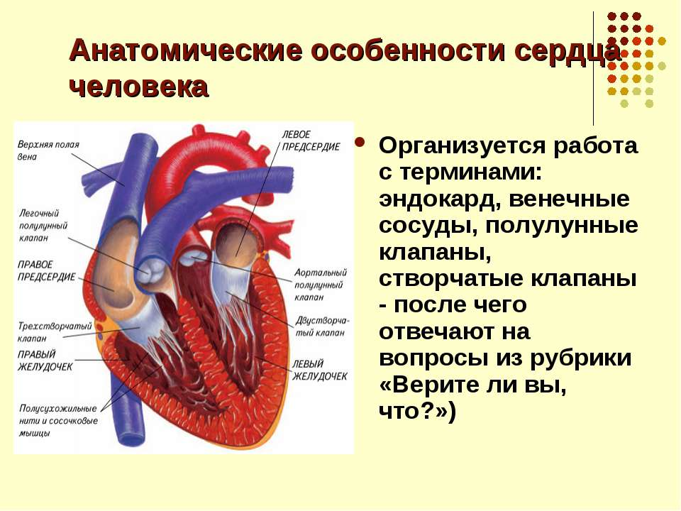 Анатомические особенности сердца человека Организуется работа с терминами: эн...