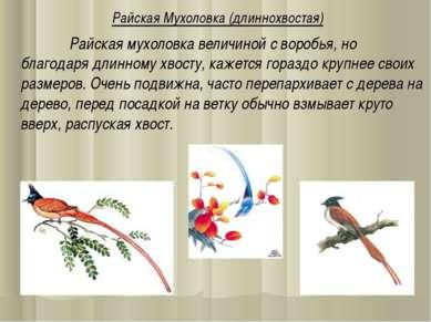 Райская Мухоловка (длиннохвостая) Райская мухоловка величиной с воробья, но б...