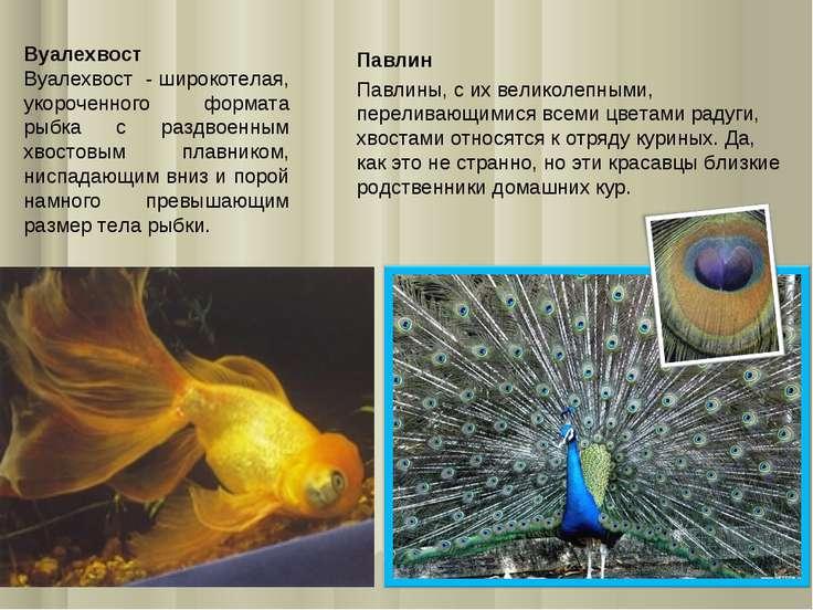 Вуалехвост Вуалехвост - широкотелая, укороченного формата рыбка с раздвоенным...