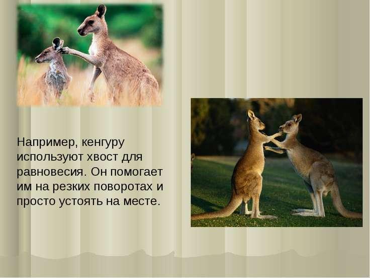 Например, кенгуру используют хвост для равновесия. Он помогает им на резких п...