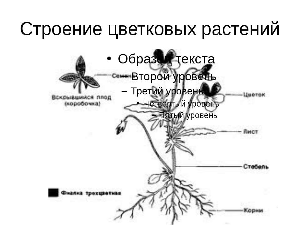 Строение цветковых растений