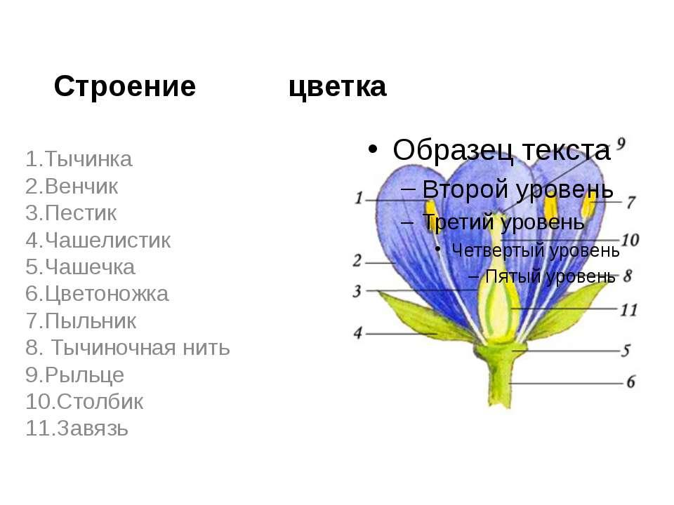 Строение цветка 1.Тычинка 2.Венчик 3.Пестик 4.Чашелистик 5.Чашечка 6.Цветонож...