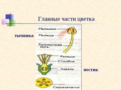Главные части цветка тычинка пестик