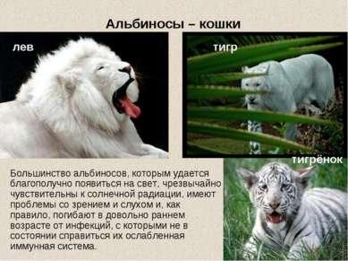 Альбиносы – кошки тигр Большинство альбиносов, которым удается благополучно п...