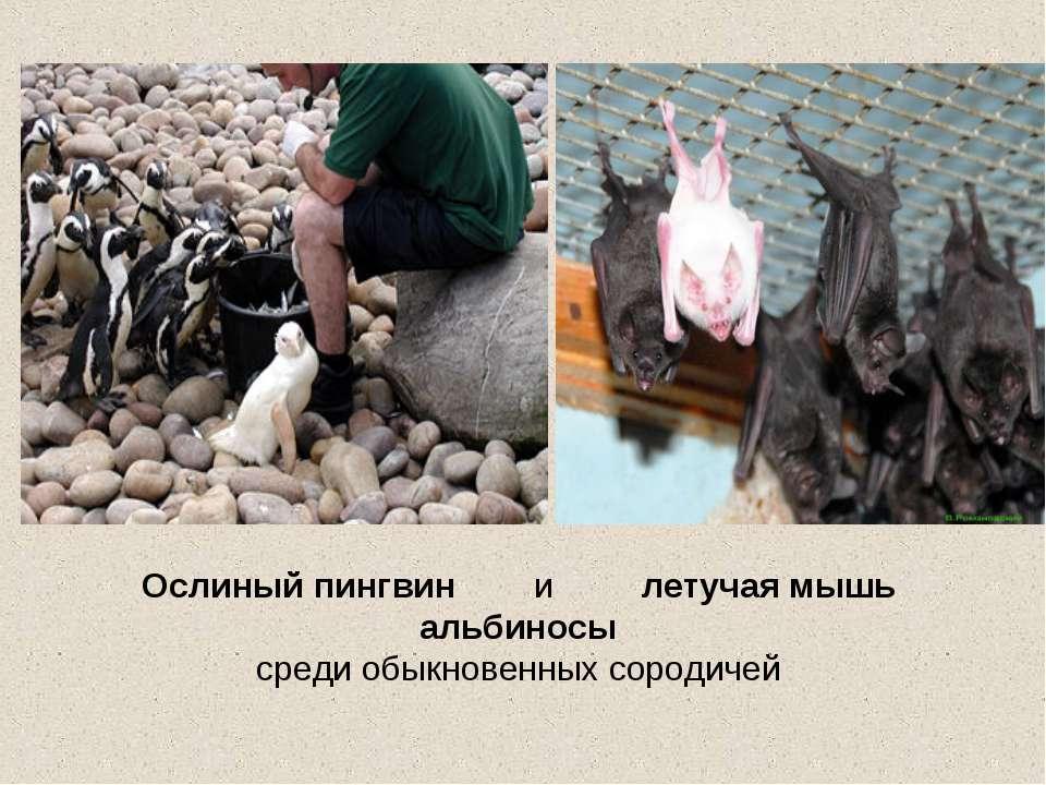 Ослиный пингвин и летучая мышь альбиносы среди обыкновенных сородичей
